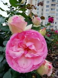 Как свежи будут розы!